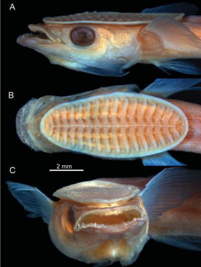 remora-peixe