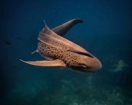 tubarão leopardo 2