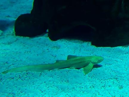 Tubarão_Leopardo.jpg